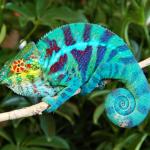 Le caméléon, un reptile haut en couleur