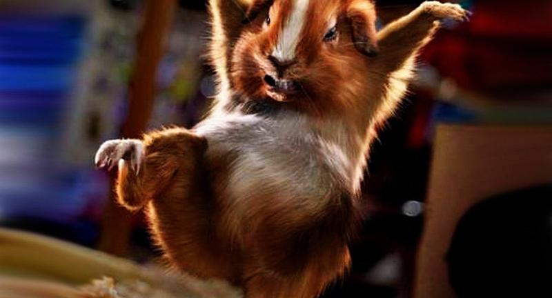 animal de compagnie hamster