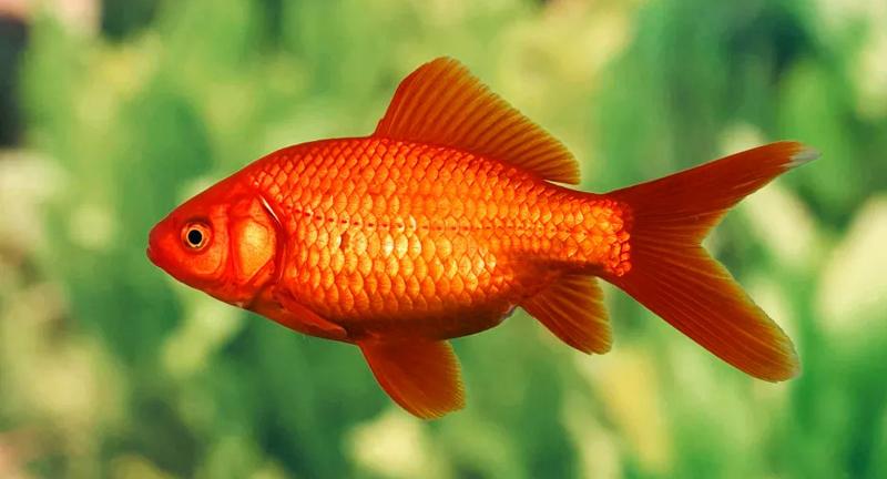 Le poisson rouge la star des animaux domestiques for Reproduction poisson rouge