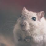 Les bonnes pratiques pour adopter un rat