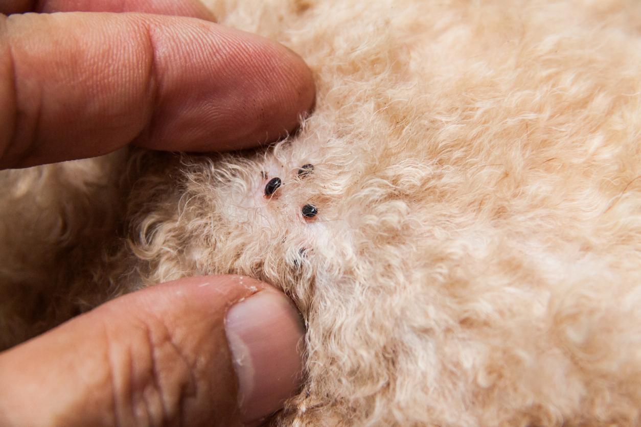 comment se débarrasser des parasites de chien