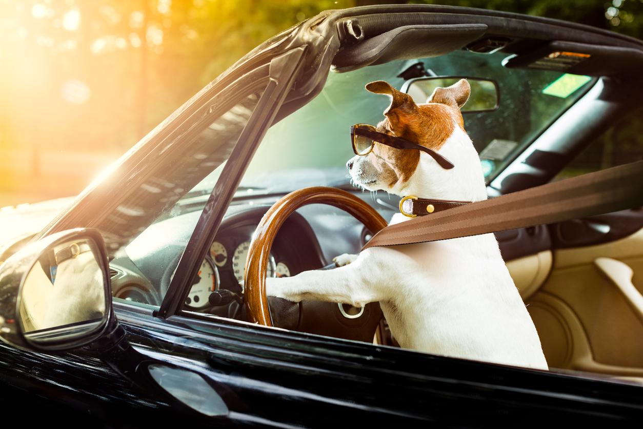 voyager avec un chien en voiture