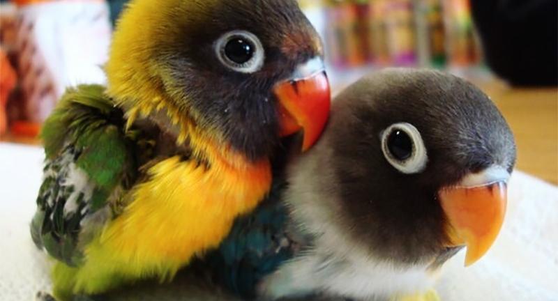 perroquet de compagnie