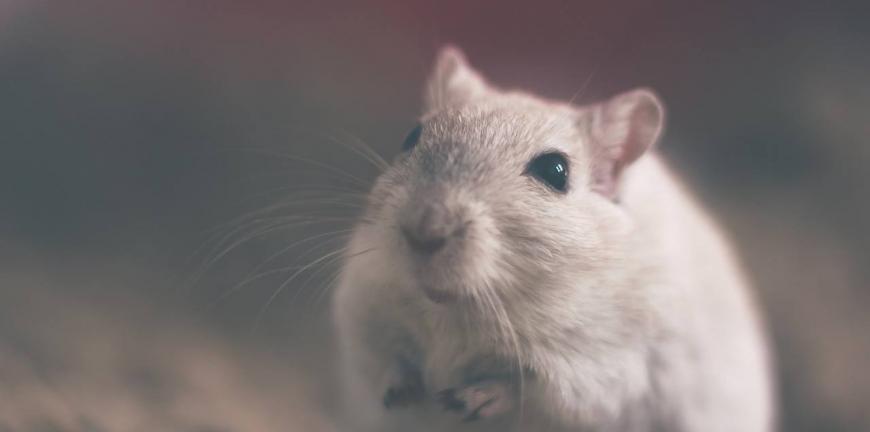 aopter un rat
