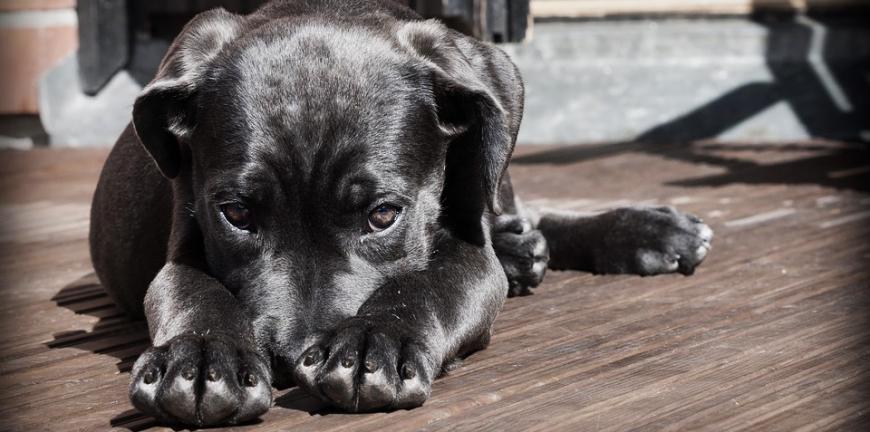 température normale chien