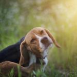 Se débarrasser efficacement des parasites externes du chien: les conseils de professionnel