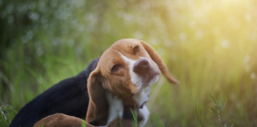 parasites chien