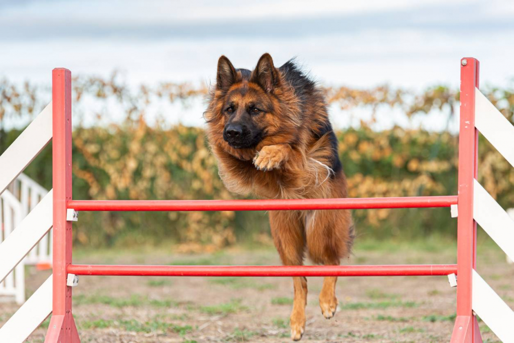 chient sautant une haie agility sport canin